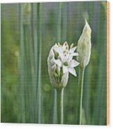 Chive Fields Wood Print