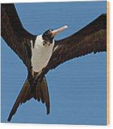 Christmas Island Frigatebird Fregata Wood Print