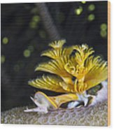 Christmas Tree Worm In Raja Ampat Wood Print