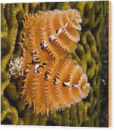 Christmas Tree Worm Spirobranchus Wood Print