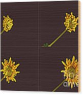 Chrysanthemum Blooming Sequence Wood Print
