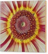 Chrysanthemum Carinatum Flower Wood Print