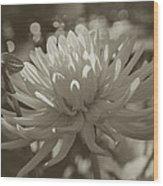 Chrysanthemum In Bloom Wood Print