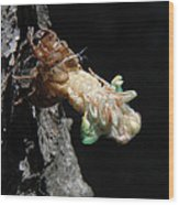 Cicada - First In Series Wood Print