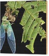 Cicada Emerging From Chrysalis Wood Print