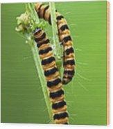 Cinnabar Moth Caterpillars Wood Print