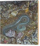 Clam Worm Wood Print