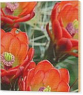 Claret-cup Cactus 2am-28736 Wood Print