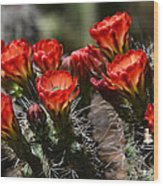 Claret Cup Cactus  Wood Print
