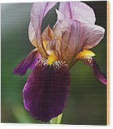 Classic Purple Two-tone Dutch Iris Wood Print