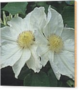 Clematis 'lemon Chiffon' Flowers Wood Print