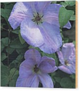 Clematis 'special Occasion' Flowers Wood Print