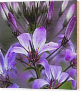 Cleome - Rose Queen Wood Print