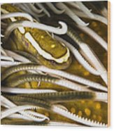 Clingfish On Crinoid, Australia Wood Print