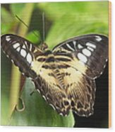 Clipper Butterfly Wood Print