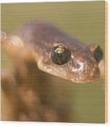 Close Up Of A California Newt Standing Wood Print