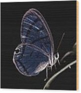 Close-up Of A Glassy-wing Butterfly Wood Print