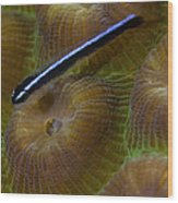 Close-up Of A Goby On Coral, Belize Wood Print
