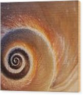 Close Up Of A Moon Snail Shell Showing Wood Print