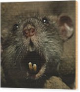 Close Up Of A Rats Fast-growing Teeth Wood Print