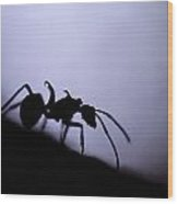 Close-up Of A Silhouetted Ant Wood Print