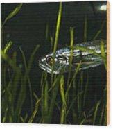 Close-up Of A Vampire Tetra Hydrolycus Wood Print