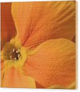 Close Up Of An Orange Primrose Flower Wood Print