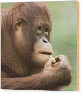 Close-up Of An Orangutan Pongo Pygmaeus Wood Print