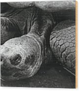 Close-up Of Galapagos Giant Tortoise Wood Print