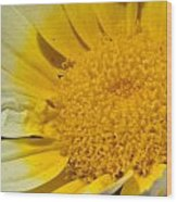Close Up Of The Inside Of A Yellow And White Sun Flower Wood Print