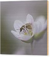 Close-up Of Wasp Pollinating Eastern Wood Print