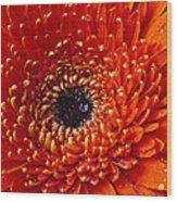 Close Up Orange Mum Wood Print
