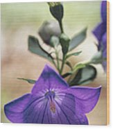Close View Of A Balloon Flower In Bloom Wood Print