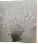 Close View Of A Dandelion Flower Wood Print