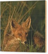 Close View Of A Red Fox At Rest Wood Print