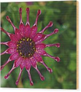 Close View Of A South African Daisy Wood Print