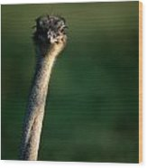Close View Of An Ostrich Struthio Wood Print