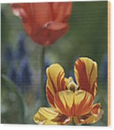 Close View Of Blossoming Tulips Wood Print
