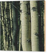 Close View Of Several Aspen Tree Trunks Wood Print
