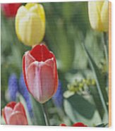 Close View Of Spring Tulips In Bloom Wood Print