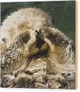 Closeup Of A Captive Sea Otter Covering Wood Print