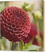 Closeup Of A Red Flower In Butchart Wood Print