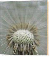 Closeup Of Dandelion Seed Head Wood Print
