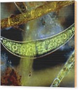Closterium, A Desmid Alga Wood Print by John Walsh