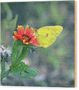 Clouded Sulphur Butterfly Square Wood Print