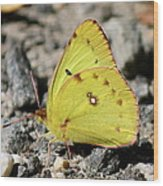 Clouded Sulphur Wood Print