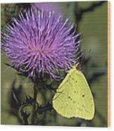 Cloudless Sulphur Butterfly Din159 Wood Print