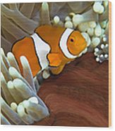 Clown Anemonefish In Anemone, Great Wood Print