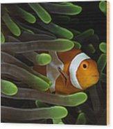 Clownfish In Green Anemone, Indonesia Wood Print