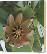 Clusia Major -  Autograph Tree Wood Print